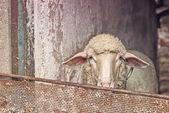 овцы в сарае — Стоковое фото