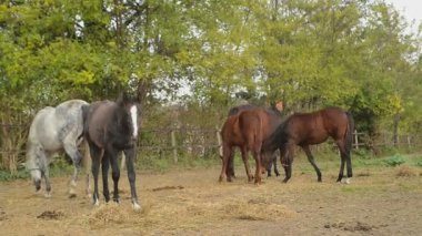 Grazing Horses on the ranch — Stock Video