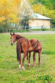 Horse foal sucking from mare — ストック写真