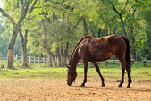 Grazing Chestnut Brown Horse on the Farm — Stock Photo