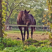 Beautiful Chestnut Brown Horse Mare on the Farm — Stock Photo