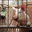 Young Pigs in Stable on Breeding Animal Farm — Stock Video #68571017