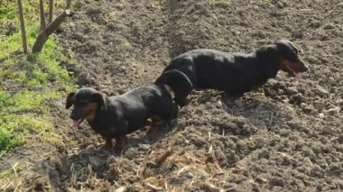 Pair of Tied Dachshund Dog Mating, Animal Sex Scene — Stock Video