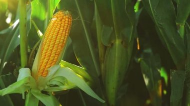Ripe Corn Ear in Agricultural Cultivated Field in Harvest Season ready for picking, Steady full HD footage — Stock Video