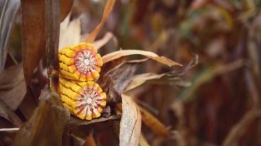 Ripe Corn Ear in Agricultural Cultivated Field in Harvest Season ready for picking, Steady full HD footage — Video Stock