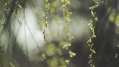 Willow Branches Swinging in the Wind on a Bright Day at The Beginning of the Spring, Selective focus close up with shallow depth of field for cinematic look of this full HD footage. — Stock Video