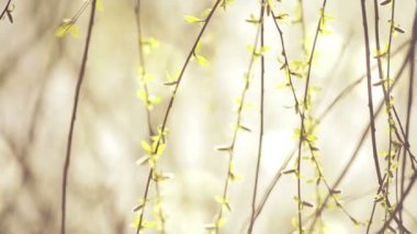 Willow Branches Swinging in the Wind on a Bright Day at The Beginning of the Spring, Selective focus close up with shallow depth of field for cinematic look — Stock Video