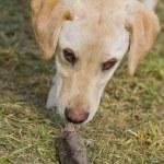 Golden Labrador Retriever Puppy Sniffing Dead Mole — Stock Photo #70218317
