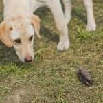 Golden Labrador Retriever Puppy Sniffing Dead Mole — Stock Photo #70218331