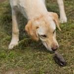 Golden Labrador Retriever Puppy Sniffing Dead Mole — Stock Photo #70218355