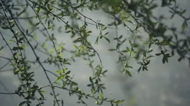 Willow Branches Swinging in the Wind by the River on a Bright Day at The Beginning of the Spring, Selective focus close up with shallow depth of field for Cinematic look — Stock Video