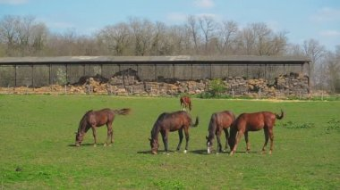 Herd of Young Horses Graze on the Farm Ranch, Animals on Summer Pasture, Stable Handheld full HD clip — Stock Video