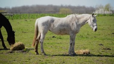 Young White Horse Graze on the Farm Ranch, Animal on Summer Pasture, Stable Handheld full HD footage — Stock Video
