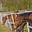 Herd of Beautiful Young Horses Graze on the Farm Ranch — Stock Photo #70811895