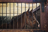 Beautiful Brown Chestnut Horse in Barn the Animal Farm — Stock Photo
