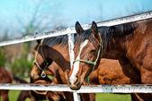 Beautiful Brown Chestnut Horses on the Animal Farm — Stock Photo