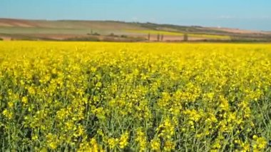 Oilseed Rapeseed Flowers in Cultivated Agricultural Field, Crop Protection Agrotech Concept — Stock Video