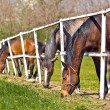 Herd of Beautiful Young Horses Graze on the Farm Ranch — Stock Photo #71442297