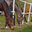 Herd of Beautiful Young Horses Graze on the Farm Ranch — Stock Photo #71444095