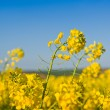Oilseed Rapeseed Flowers in Cultivated Agricultural Field — Stock Photo #71474553