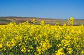 Oilseed Rapeseed Flowers in Cultivated Agricultural Field — Stock Photo
