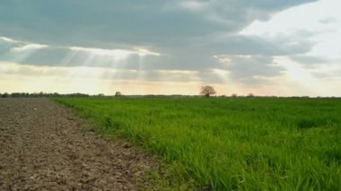 Green Wheat Sprouts Field and Arable Land in Agricultural cultivated field — Stock Video