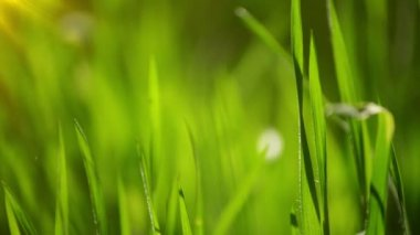 Fresh Green Spring Grass Lawn in Morning Close up, Bright Vibrant Natural Season Background with Shallow Depth of Field, Handheld Stable HD Clip — Stock Video
