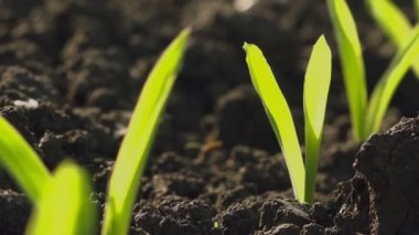 Growing Young Green Maize Corn Seedling Sprouts in Cultivated Agricultural Farm Field — Stock Video