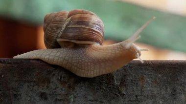 Brown Burgundy Roman Snail or Slug Outdoors on a Sunny Morning Light. — Stock Video