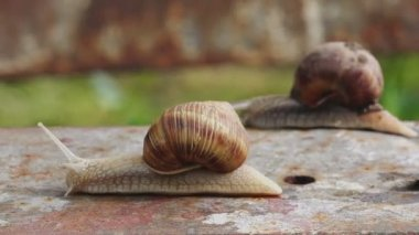 Pair of Brown Burgundy Roman Snail or Slug Racing Outdoors — Stock Video