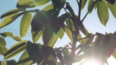 Walnut Treetop and Branches with Green Leaves with Morning Sunlight Shining Through — Stock Video