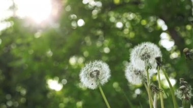 Spring Dandelion Flowers in the Morning, Low Angle Shot — Stock Video