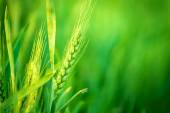 Green Wheat Head in Cultivated Agricultural Field — Stock Photo