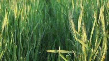 Green Wheat Heads in Cultivated Agricultural Field — Stock Video