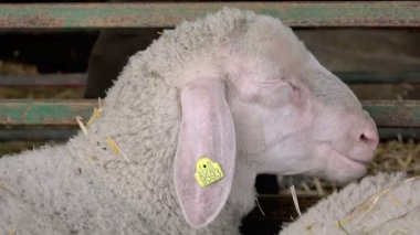 Sheep in a Barn on the Breeding Farm — Stock Video