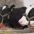 Holstein Friesian Cattle Cows Feeding on Animal Farm — Stock Video #74009305