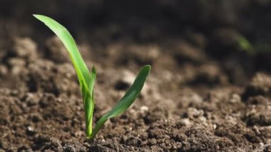 Growing Maize Corn Seedling Sprouts in Cultivated Agricultural Farm Field — Stock Video