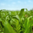 Young Maize Corn Crops Leaves in Field — Stock Photo #74652591
