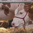 Red and White Holstein Cattle Cows Feeding on Animal Farm — Stock Video #74653217