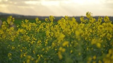 Rapeseed Flowers in Cultivated Agricultural Field — Wideo stockowe