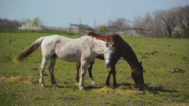 Young Horses Graze on the Farm Ranch — Stock Video