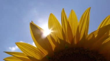Sunlight Rays Shining Through Sunflower Petals Agricultural Field — Stock Video