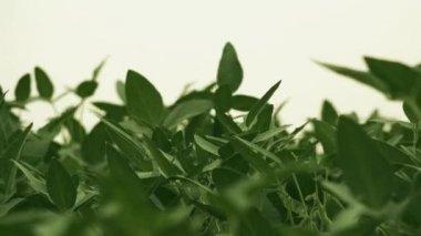 Soybean crop pods in field — Stock Video