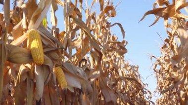 Maize ear on stalk in corn field — Stock Video