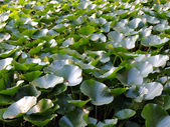 Thickets of lotus (Nelumbo) — Stock Photo
