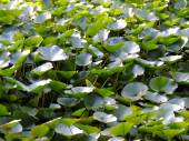 Thickets of lotus (Nelumbo) — Stock Photo