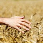 Male hand in wheat ears — Stock Photo #74739837