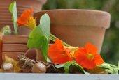 Nasturcja z terakoty — Foto Stock