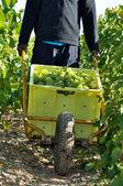 Grapes harvest — Stock Photo