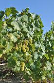 Vines — Stock Photo